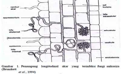 arbuskula glomeromycota mikoriza