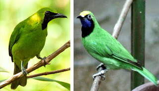 Foto Cucak Ijo Jantan Betina Harga Terbaru Pasaran Burung Kicau