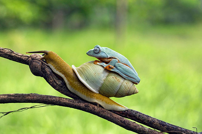 Frog On the rear Of A Snail
