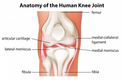 gambar anatomi sendi lutut, struktur sendi lutut