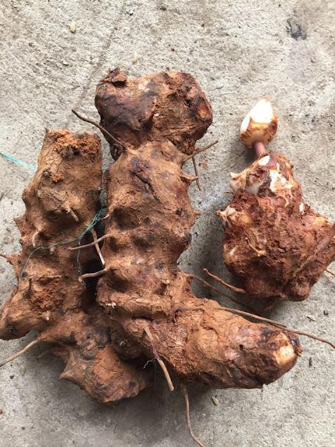 Thân rễ cây Thổ Phục Linh - Smilax glabra - Nguyên liệu làm thuốc Chữa Tê Thấp và Đau Nhức