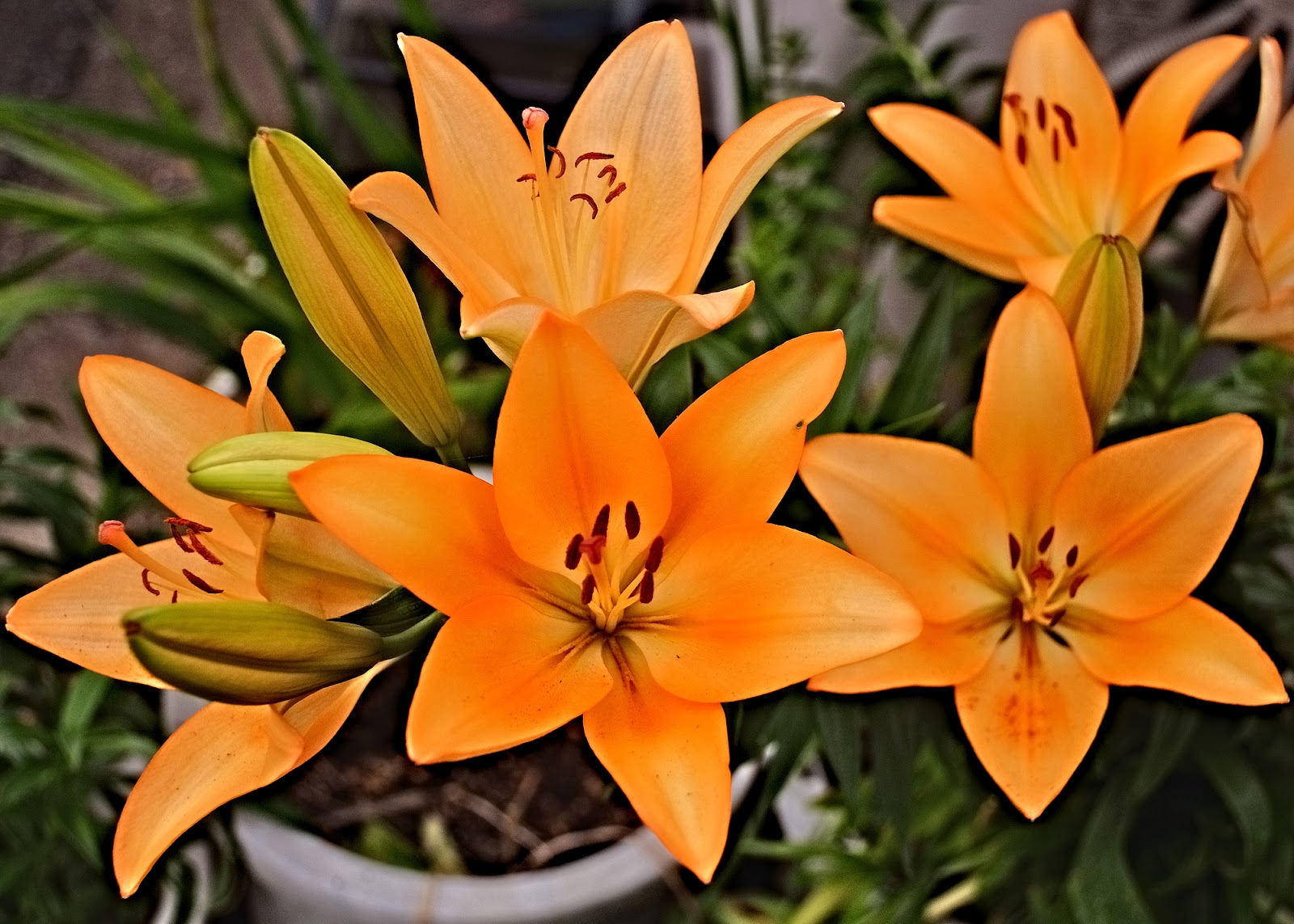 Hata3s photo haiku flowers of lily flowers of lily izmirmasajfo