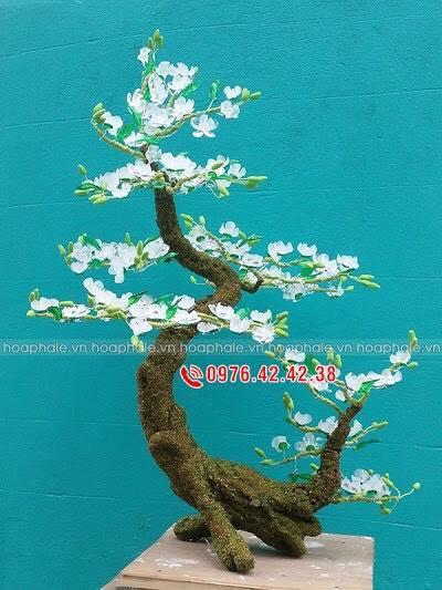Goc bonsai cay hoa tuyet mai tai Duong Khue