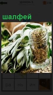 Травянистое растение шалфей, которое обладает лечебными свойствами и применяется в медицине