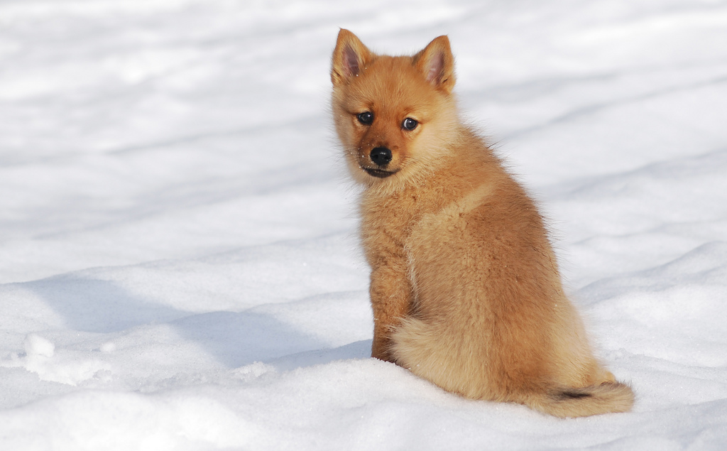 Finnish Spitz The Life Of Animals