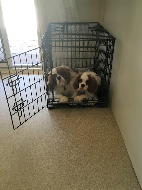Both dogs in one crate looking at me
