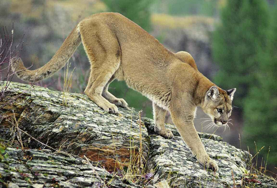 the cougar interesting wild animal fact amp pictures