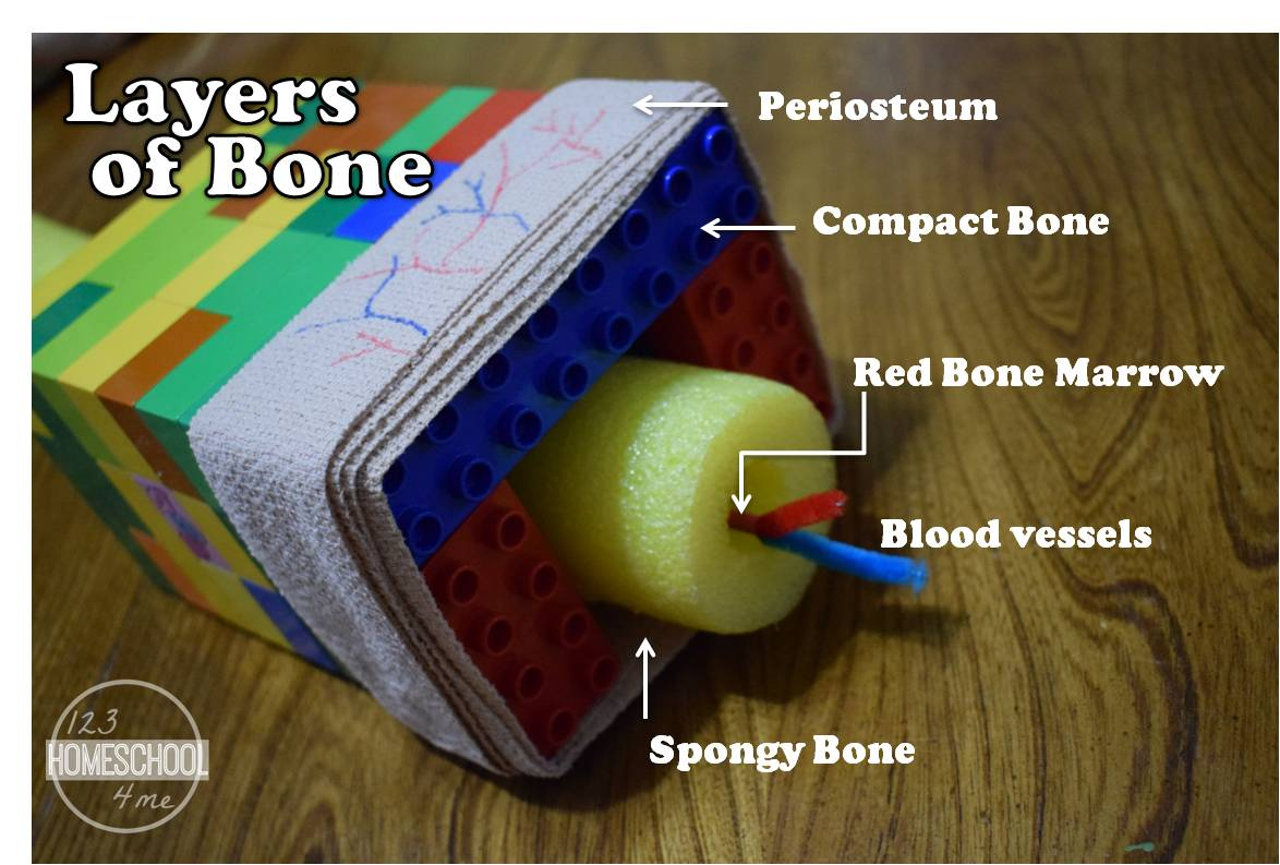 4 Skeletal System Projects For Kids