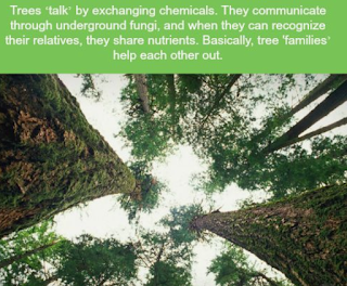 Trees 'talk' by exchanging chemicals which are transmitted through underground fungi