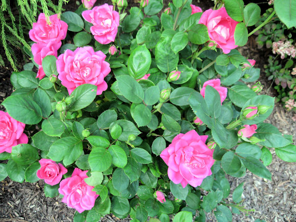 Roses In Garden: Knockout Roses Care
