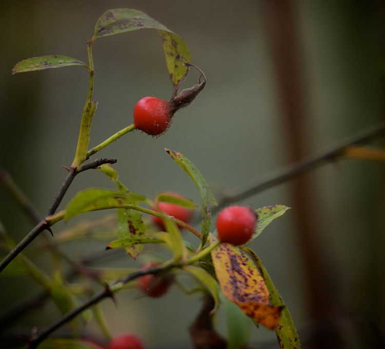 ...red rosehips that border the marsh at Spring Valley Wildlife Area.