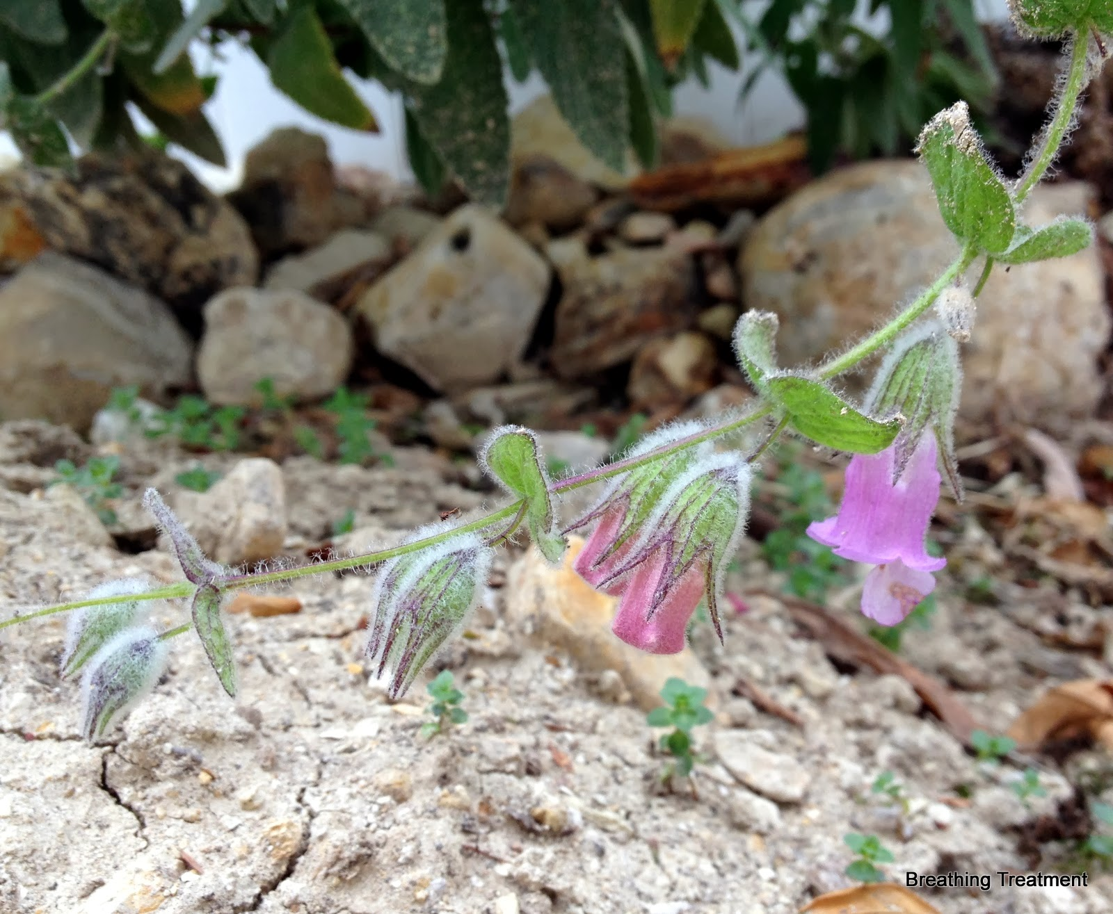 Lepechinia fragrans (Pitcher Sage)