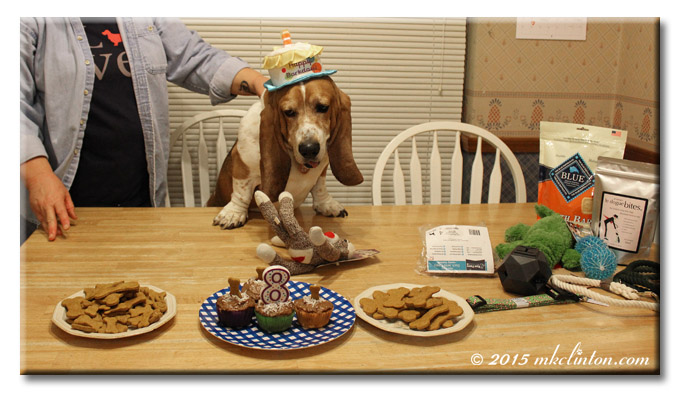 Bentley Basset in chair at birthday party