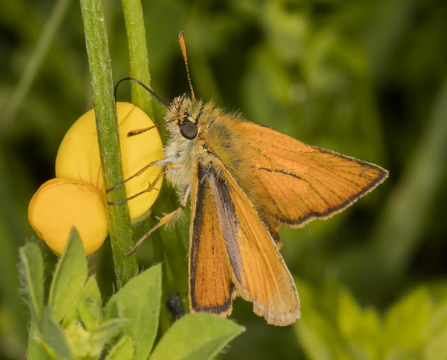 Small Skipper, Thymelicus sylvestris.  Lullingstone Country Park, 4 July 2016.