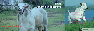 Ongole bull images 2017