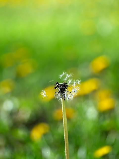 mlecz   dmuchawiec   łąka   zieleń   lato   słońce   trądzik