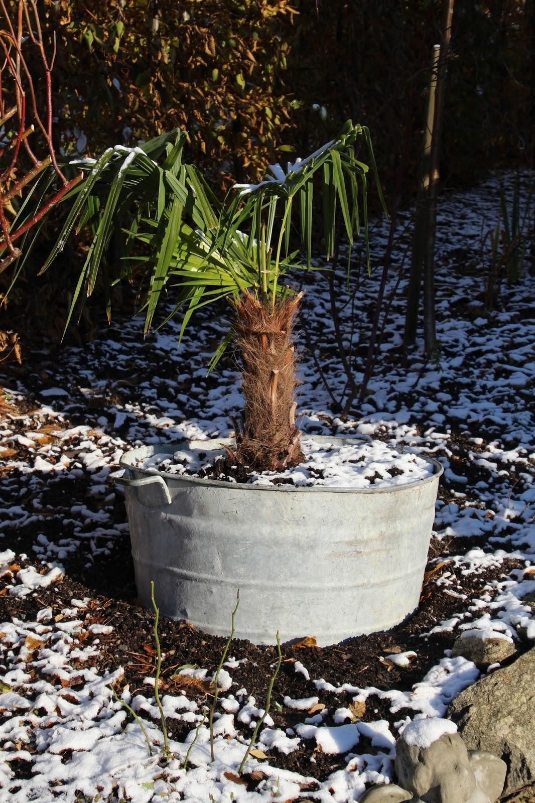 Väderkvarnspalm Trachycarpus fortunei