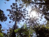 Araucária no Parque Estadual da Cantareira em São Paulo