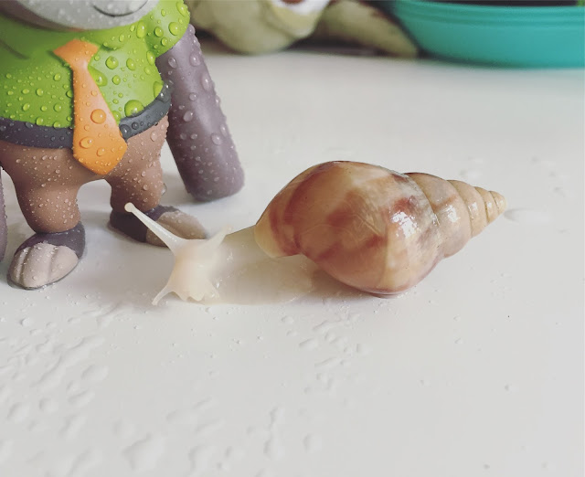 Giant African Land Snails, Achatina Fulica