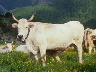 Razza bovina Romagnola