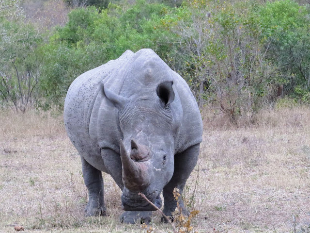 Rhino in Sabi Sand Game Reserve in South Africa