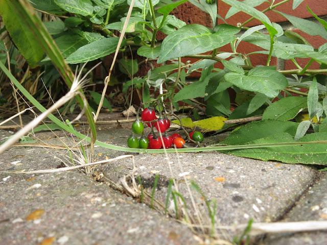 Woody Nightshade Berries (Bittersweet) - Solanum dulcamara