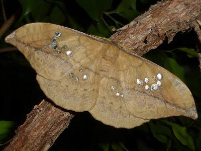 Copaxa multifenestrata female