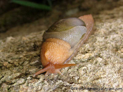 Rock Snail Picture