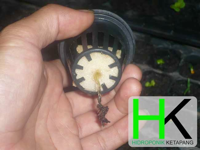 Pindah Tanam Hidroponik Sistem Jepit Busa