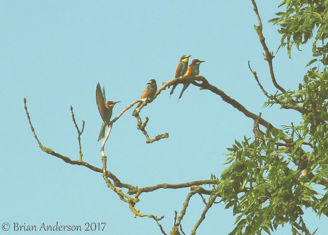Bee Eaters at East Leake Nottinghamshire