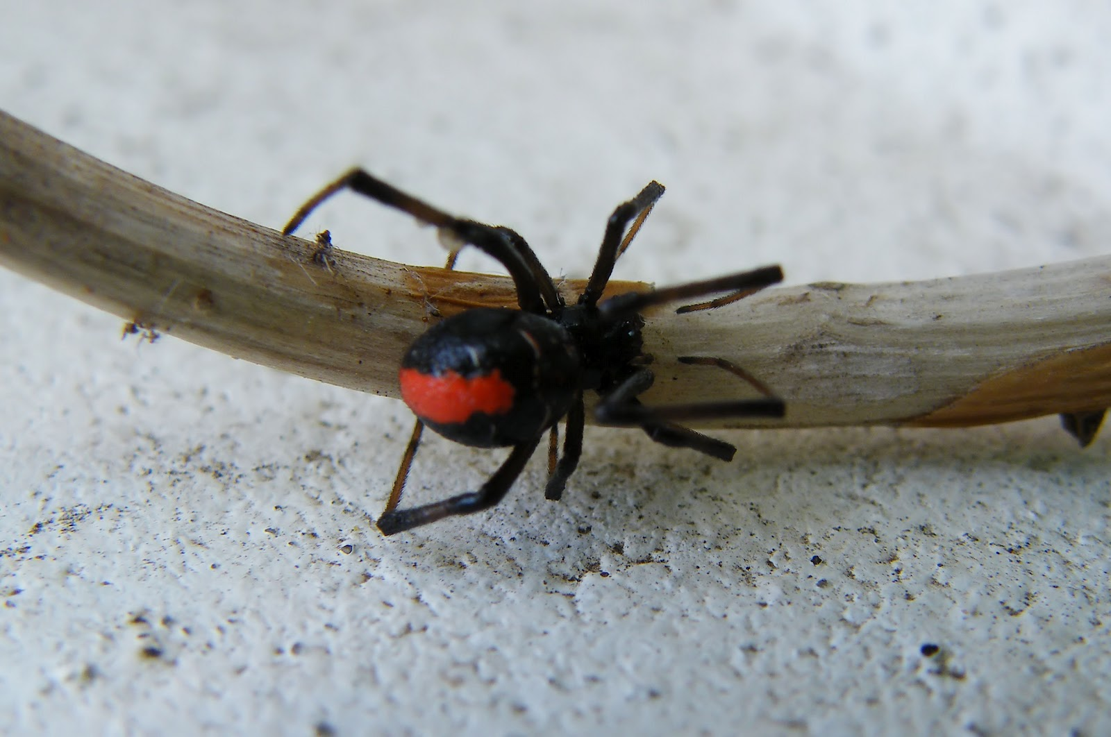 Cougar Life Pictures >> Redback spider | The Life of Animals