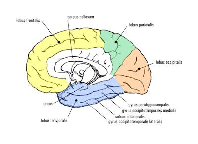 Lobus pada otak manusia