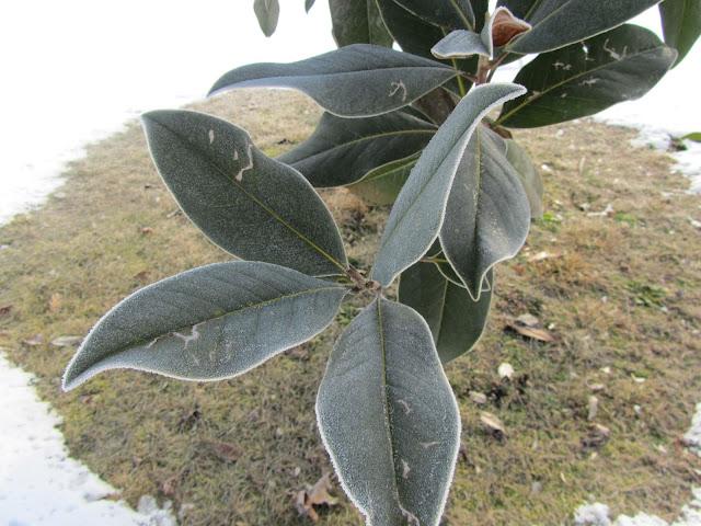 Gelo e Brina su Magnolia