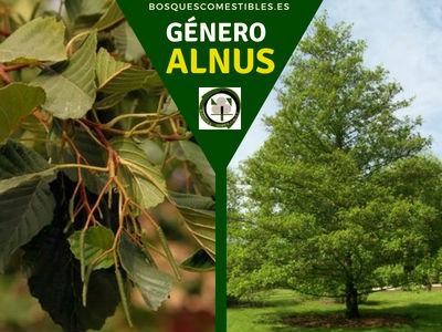 Lista de arboles en la Península del Género Alnus comúnmente llamados Alisos