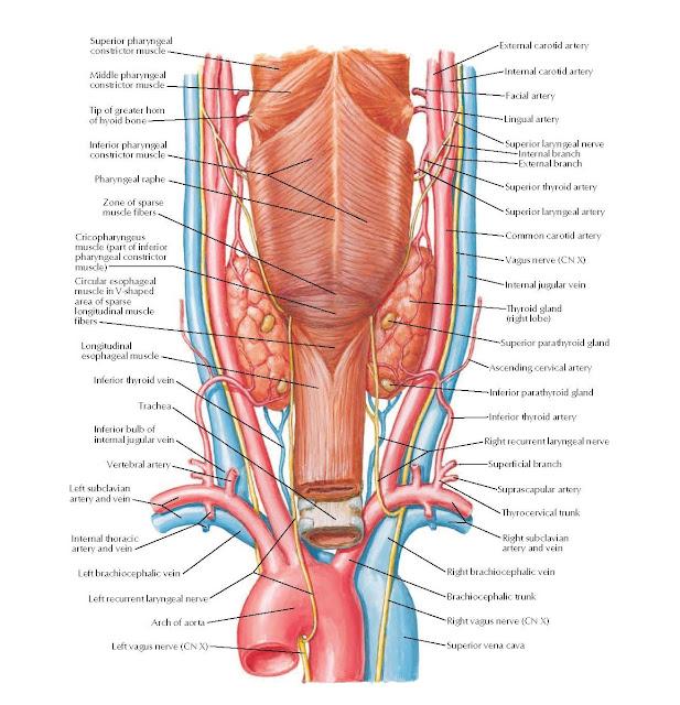 Thyroid Gland and Pharynx: Posterior View Anatomy