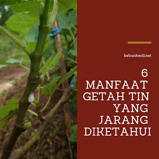 Manfaat Getah Pohon Tin Yang Jarang Diketahui