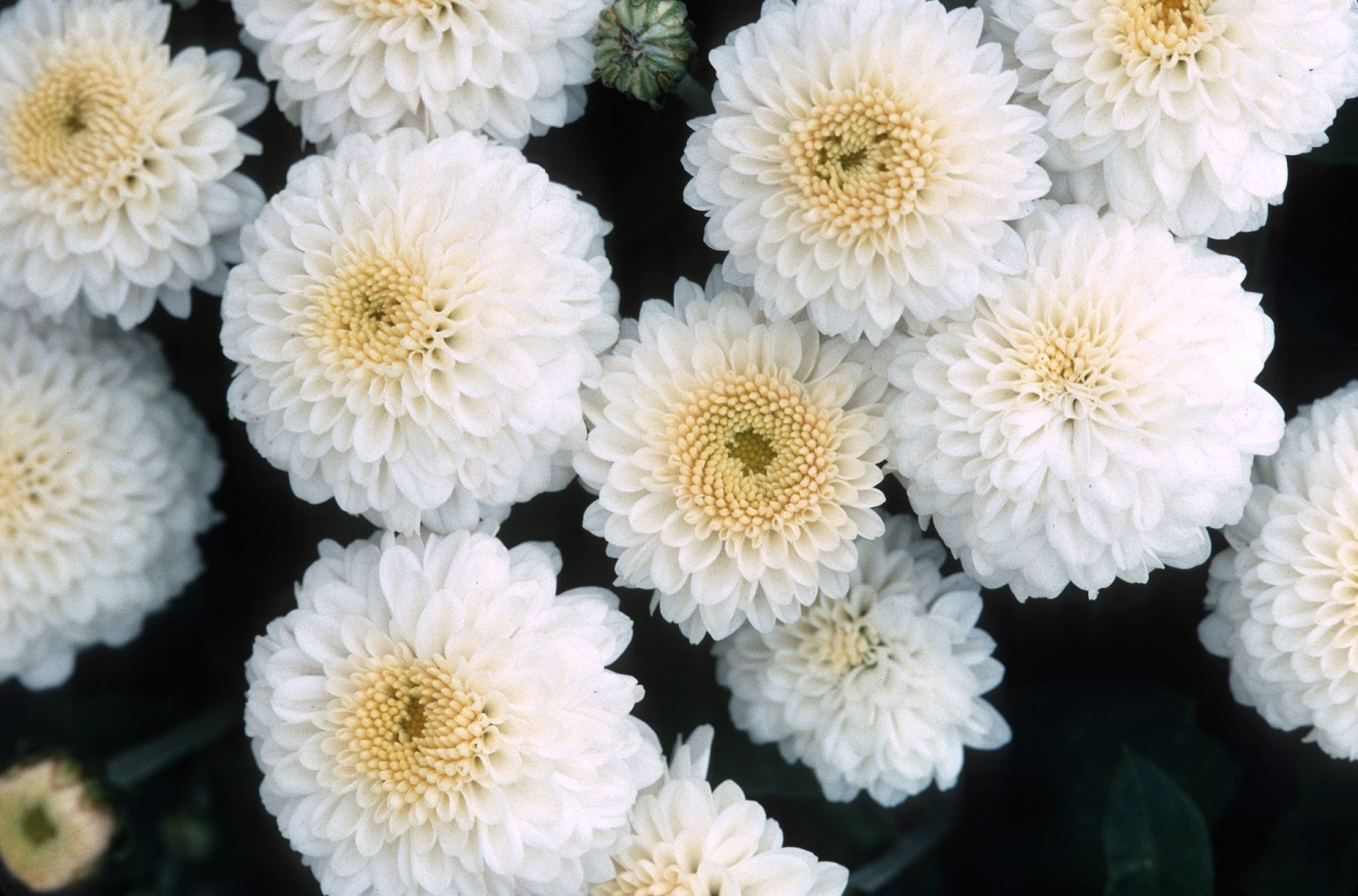 Earth And Space News Snowsota Chrysanthemum Has Seasonal Or Year