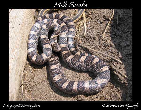 Wallpapers Hd Tattoo Snakes Baby Milk Snake