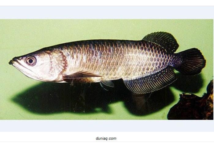 Harga Ikan Arwana Irian Anakan