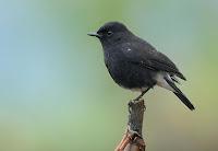 Jenis Burung Decu Saxicola Caprata Anderseni