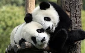pandas raramente são agressivos