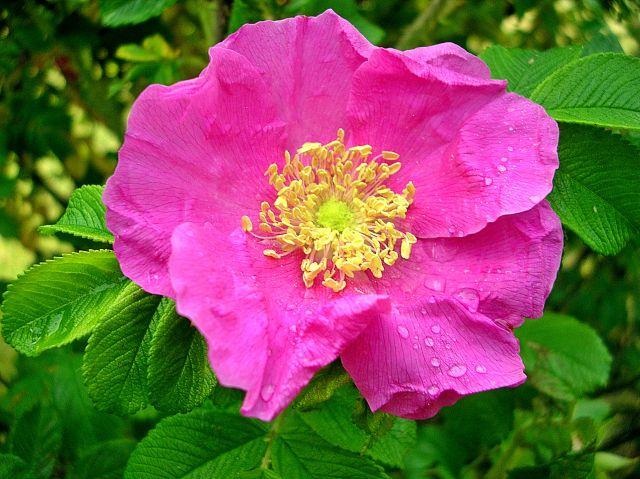 roślina, płatki, różowe, krzew