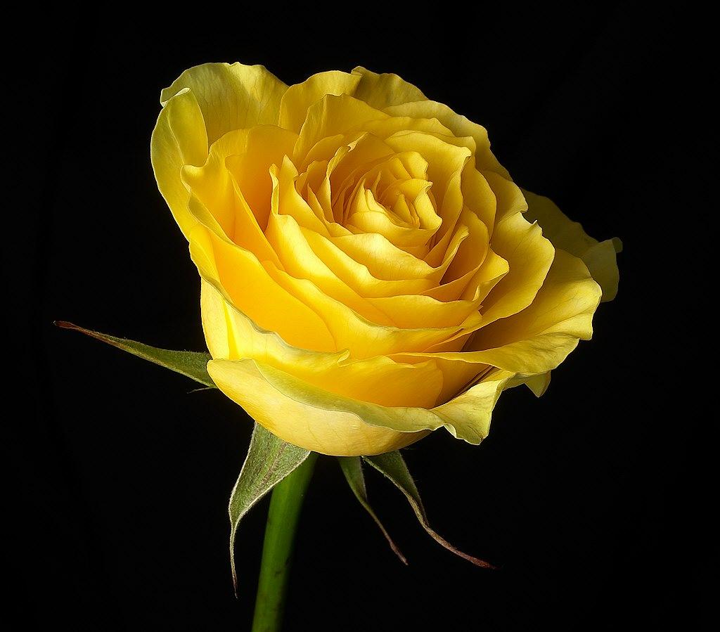 yellow rose flower wallpaper - photo #32