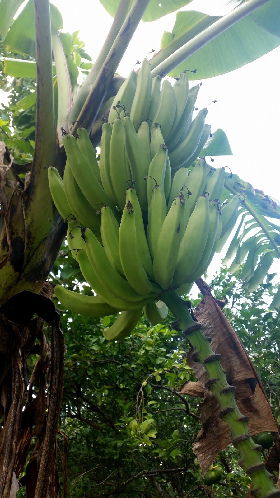Dominikana Bananowiec
