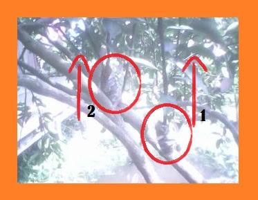 Cara mencangkok pohon yang benar untuk menghasilkan bibit yang unggul