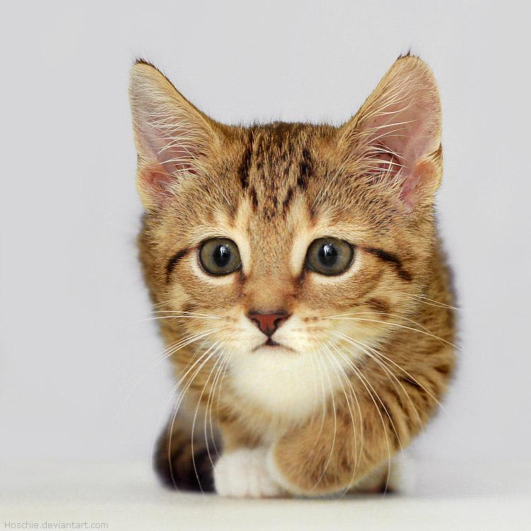 kittens adorable kitten hoschie kitty deviantart photographs mart leo lion pre smile