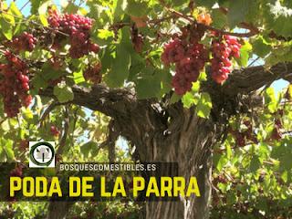 Te explicamos como se poda la parra de uva, quitar chupones, etc