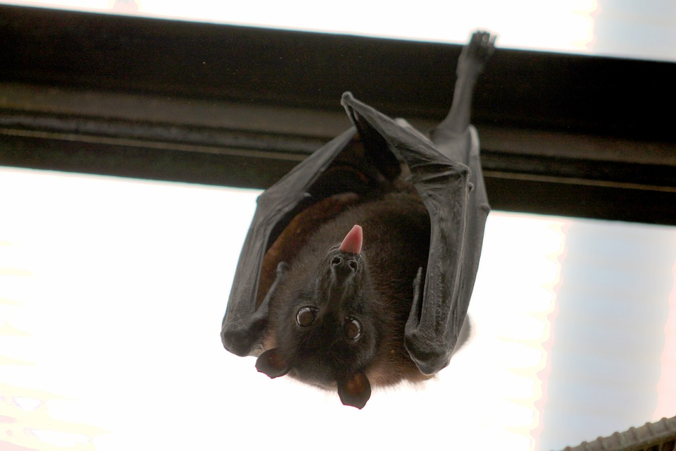 How To Know If You Have Bats In Your Property