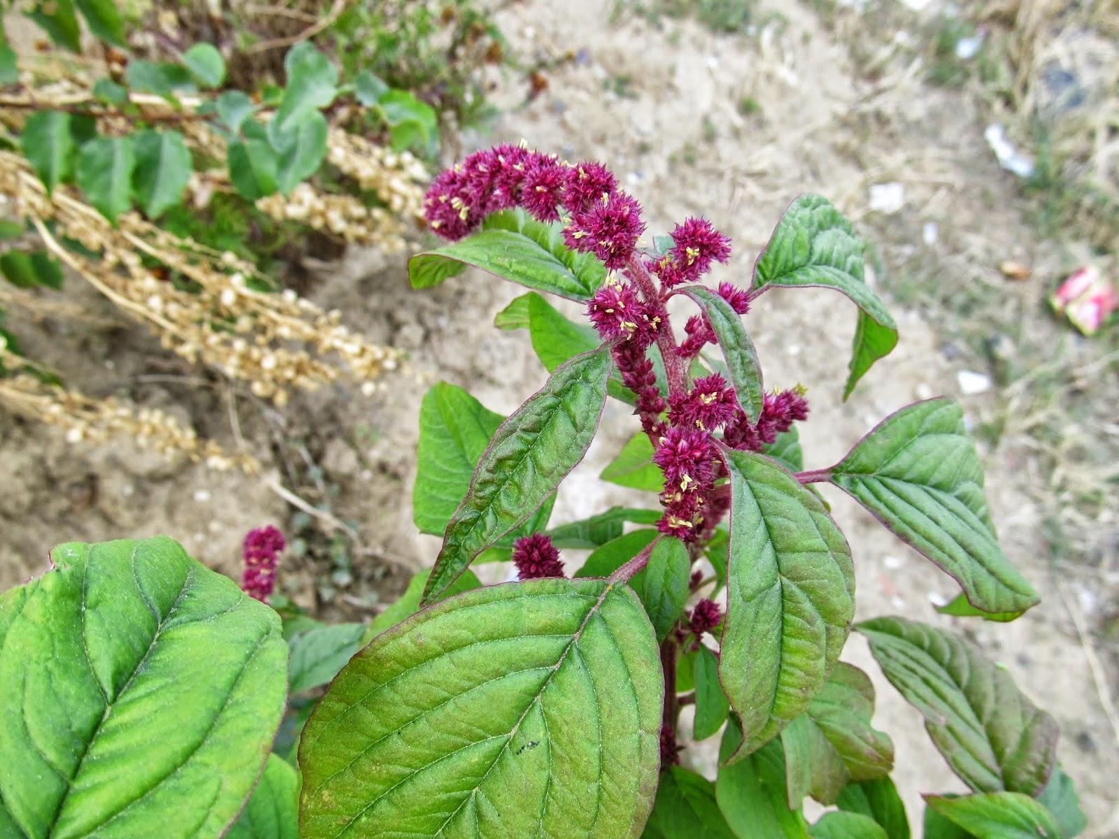 Horoz İbiği (Amaranth) Bitkisi