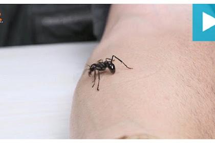 Sengatan Serangga Paling Menyakitkan di Dunia
